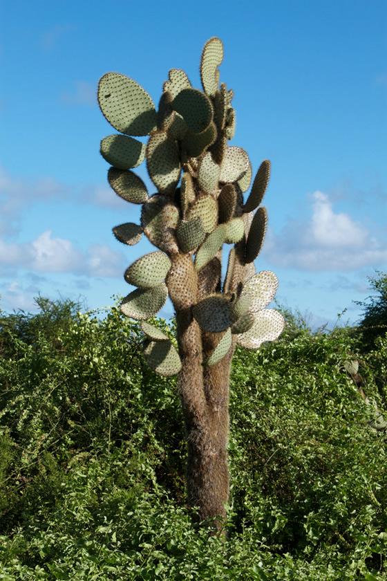 Galápagos Cactaceae