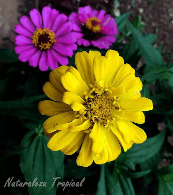 Variedad amarilla moñuda del clavelón, género Zinnia