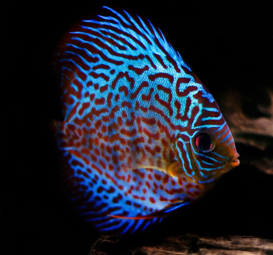 Discus Discus fish