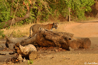 Tigress Bandhavgarh
