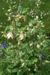 Ancolie des Causses - Ancolie visqueuse - Aquilegia viscosa