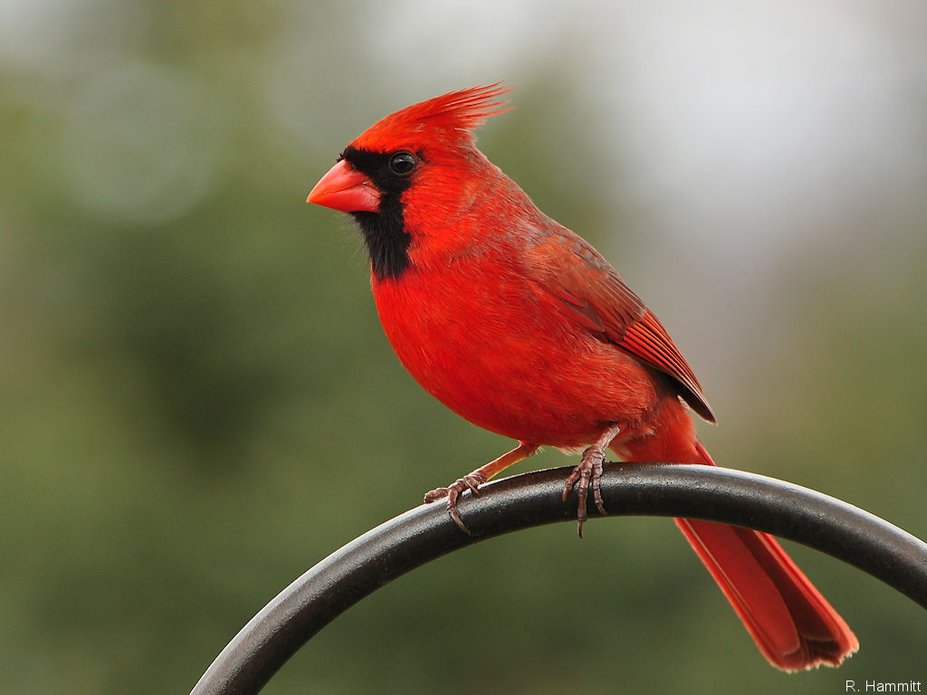 cardinal bird images free stylist view north american male cardinal birds wallpaper 5001