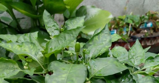 Siling Labuyo Farming | Ace Tech Insights