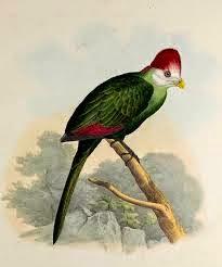 Turaco cresta roja: Tauraco erythrolophus