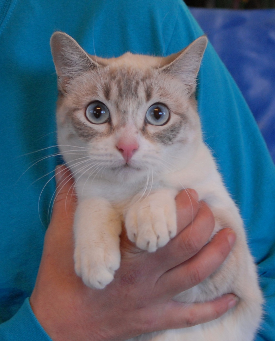 Mystery An Enchanting Young Lynx Point Siamese Mix Debuting For Adoption
