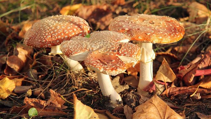 Wallpaper: Mushrooms Fly Agaric