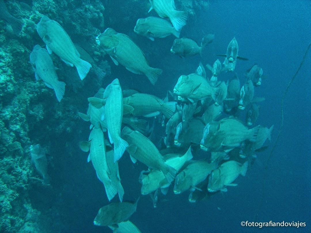 Cardumen de peces loros jorobados en Sipadán