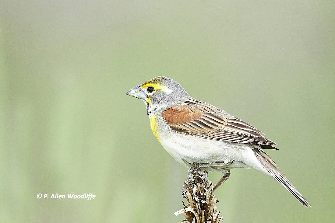 nature nuggets more y birds