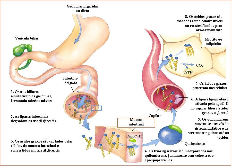 El estrés y metabolismo de hidratos de carbono