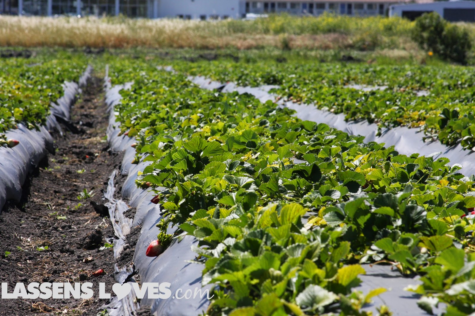 green+gold+organic+strawberries Green+gold, organic+produce, organic+strawberries