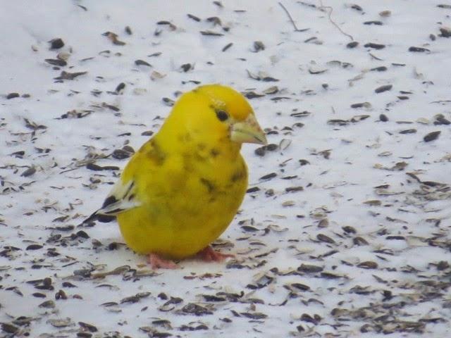 northern maine birds