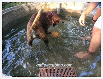 Boxer Amy im Brunnen