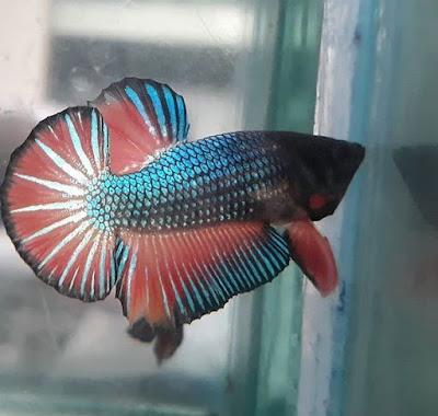 Cara Budidaya Ikan Cupang yang Benar Untuk Pemula (Panduan Lengkap)