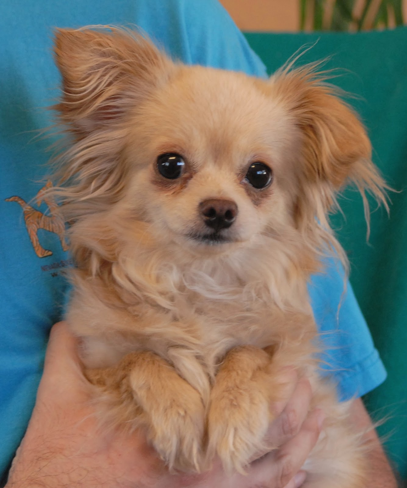 Near Me Fluffy Small Dog Adoptions