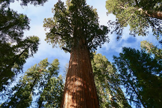 unknown Facts about Giant Sequoia tree