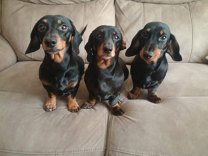 A Teenager Got An Adorable Shot Of His 16 Dachshunds After A Friend Told Him It's Impossible