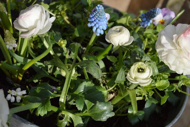 Ideer til hvit vårblomstring i krukker - hvite ranunkler i samplantning