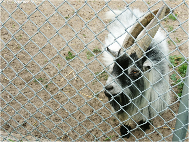 The Far Enough Farm: Cabra