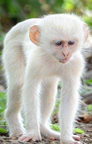 Monkey | A-Z List of 125 Rare Albino Animals [Pics]