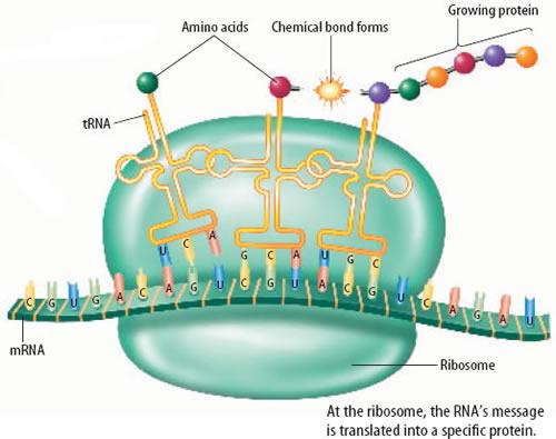 transcripción proteica