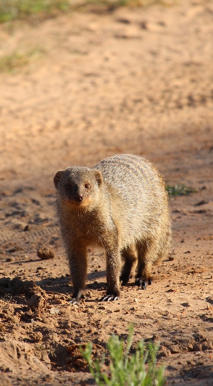 Picture of a mongoose.