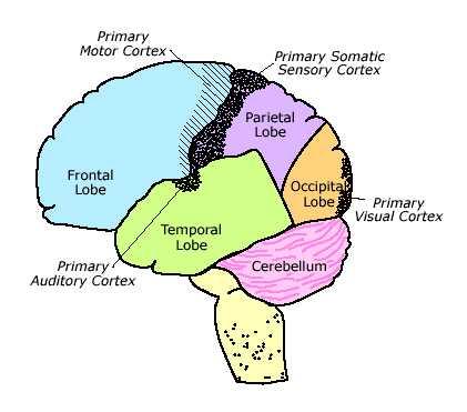 Brian Owens Image: Human Brain Diagrams