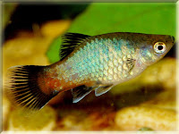 Platy Fish Pictures