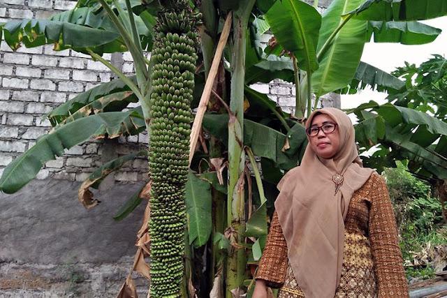 Pohon Pisang Unik Berbuah Ribuan, Sempat di Sangka Hoaxs