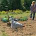 Using Chicken Manure in the Garden