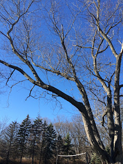 Unhealthy Silver Maple Tree