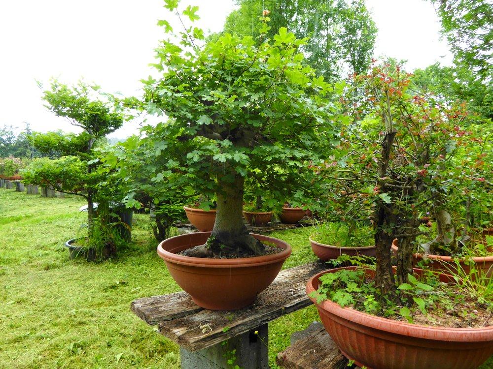 jupp s bonsai blog k flein yamadori bonsai. Black Bedroom Furniture Sets. Home Design Ideas
