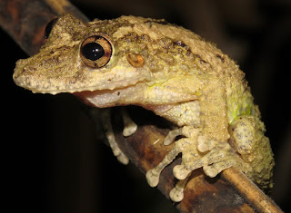 Scinax boulengeri, Boulenger's Snouted Treefrog