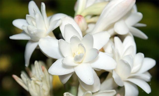 Выращивание луковичных цветов - тубероза