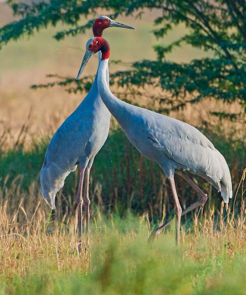 Birds of India - Sarus crane - Antigone antigone