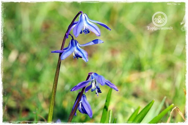 Gartenblog Topfgartenwelt Frühling Frühlingsgarten: Blausternchen in Wiese