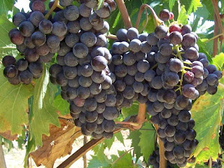 grapes (Vitis vinifera) fruit pictures