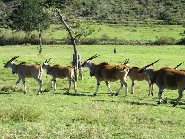 Eland at Botlierskop