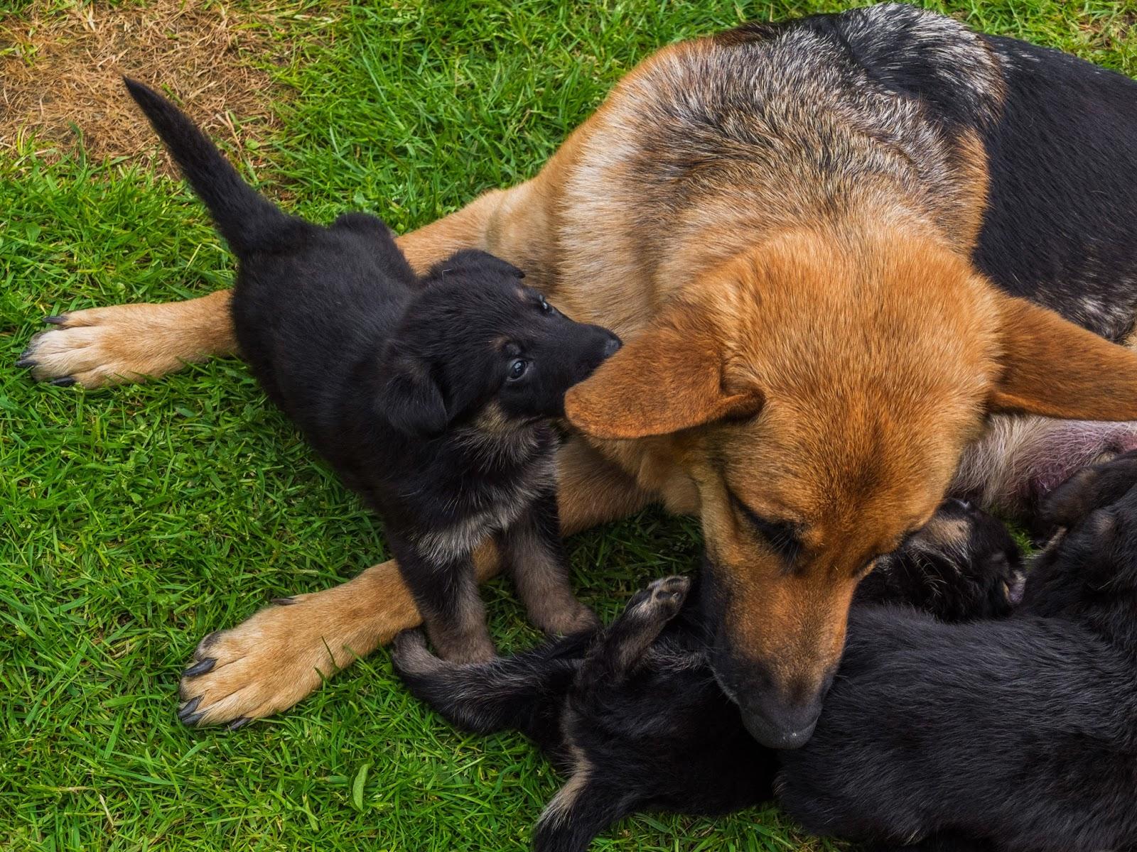 4 week old German Shepherd puppy trying to get her mom's ear.