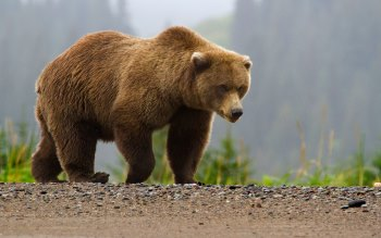 Wallpaper: Brown Bear