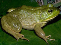 Bullfrog Animal Pictures