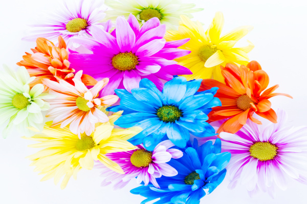 Learn about plants and how they thrive with the color changing flower experiment for kids!  This flower rainbow is made using food coloring and makes a great science fair project for elementary! #rainbowflowers #rainbowflowerexperiment #flowers #colorchangingflowers #flowerexperimentfoodcoloring #flowerexperimentsforkids #dyeingflowers #sciencefairprojects #scienceexperimentskids #growingajeweledrose