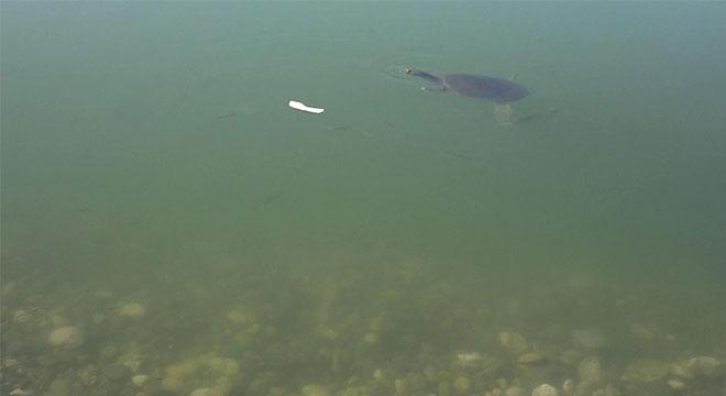 Dicle Nehrinde nesli tükenmeyle karşı karşıya olan Fırat kaplumbağaları görüldü
