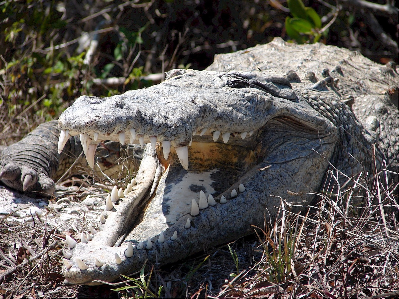 An aggressive crocodile with mouth open.