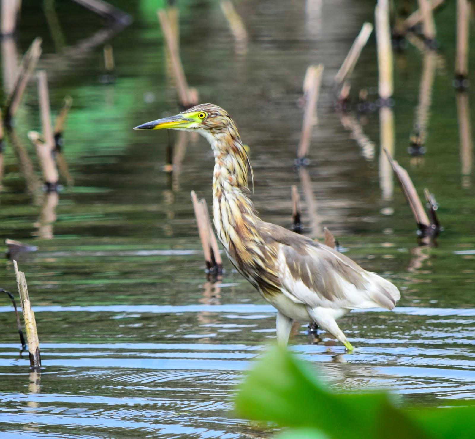 鳥鳥日子: 池鷺