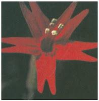 Bunga Tumbuhan Dicotyledoneae (Dikotil)
