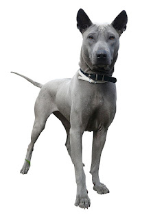 Everything about your Thai Ridgeback