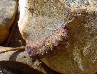 Glanville pupa attached to rock