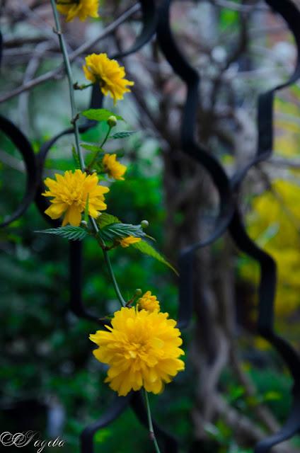 Жълта-наслада-Yellow-delight