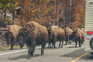 Cramer Imaging's photograph of bison or buffalo causing a traffic jam in Yellowstone National Park, Wyoming