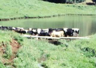 vacas%2Bna%2Bagua - Pragas e Eventos